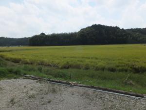 稲刈りの季節です。